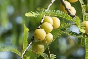 Amla Oil – health of your hair in fruits of Indian gooseberry.